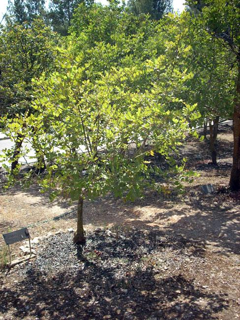 The tree planted in honor of the Righteous Among the Nations Don Gaetano Tantalo, Yad Vashem