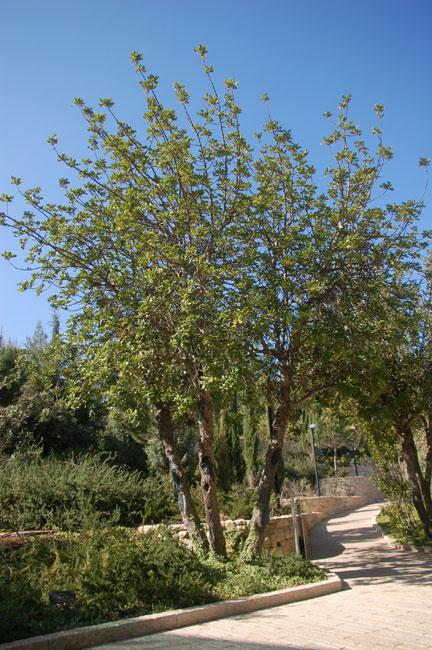 The tree planted in honor of the Righteous Among the Nations Father Beccari, Yad Vashem